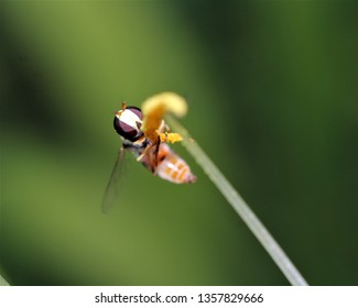 The hoverfly (Syrphidae) is considered a pollinator for various plant species. The macro photo shows the hoverfly pollinating a ground orchid.