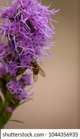 A Hoverfly (Syrphidae) on a purple flower with thin petals