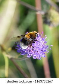 The hoverfly Volucella bombylans mimicry bumblebee on purple flower