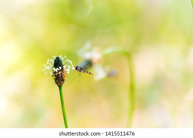 Hoverfly who forages a flower