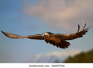Hovering adult bearded vulture in full orange color plumage with distant colorful sky in the Spanish Pyrenees