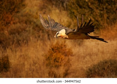 Hovering adult bearded vulture in full orange color plumage over dry grass in the Spanish Pyrenees