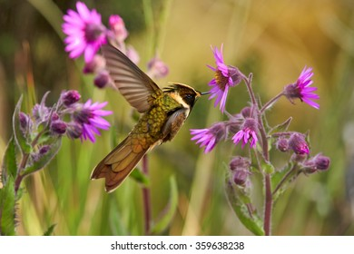 Hovering Bearded Helmetcrest,Oxypogon guerinii stuebelii, high-altitude, rare hummingbird with long violet stripe on the throat, feeding from a cluster of violet flowers. Paramo ecosystem. Colombia