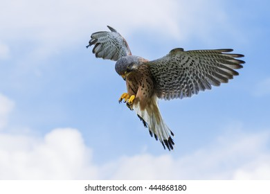 Hovering Kestrel. A lovely male kestrel hovers in a blue sky.