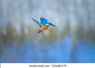 Hovering Kingfisher. Common Kingfisher. Winter blue colors background.