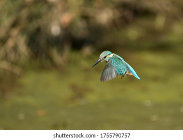 Hovering male kingfisher on the water
