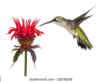 Hovering over a crown of red, a hummingbird shows delight over a solitary monarda flower. Tongue out lickng its beak, the tiny bird dives into the heavenly blossom.