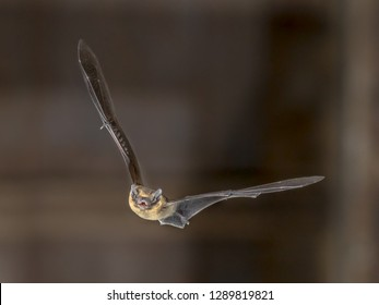 Hovering Pipistrelle bat (Pipistrellus pipistrellus) flying on attic of church in darkness