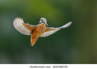 Hovering scene of young female Kingfisher (Kawasemi) with her wings spread widely in the green background