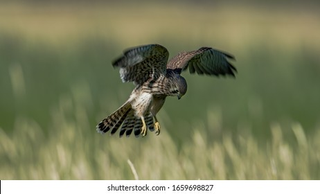 Hovering Young Kestrel in search for prey with a nice defocussed background