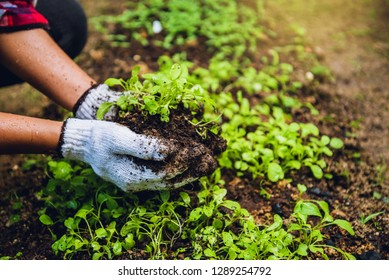 How to grow vegetables plant agriculture. dig into soil the vegetable garden cultivation and separate the early growth. Chinese cabbage