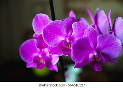 How orchid blooms. Pink Orchid.