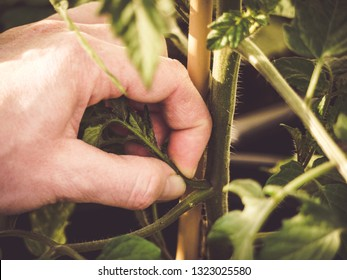 how to pinch off or prune suckers on tomato plants using fingers