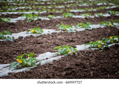 How vegetables grow on the field. Tomatoes, zucchini, cucumbers, aubergines, potatoes grow in the fields. Agronomic Agriculture