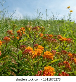 Howell, Michigan / USA - July 2019:  Orange Butterfly weed beginning to open against a blue sky.