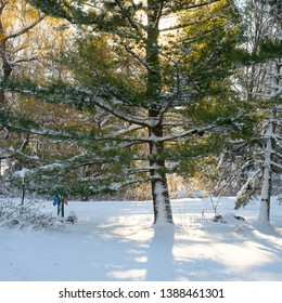 Howell, Michigan/USA- December 2018:  Snow on trunk of Eastern White Pine with back lighting on winter morning.