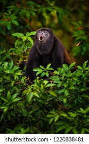 Hower Monkey screaming in rainforest in Costa Rica