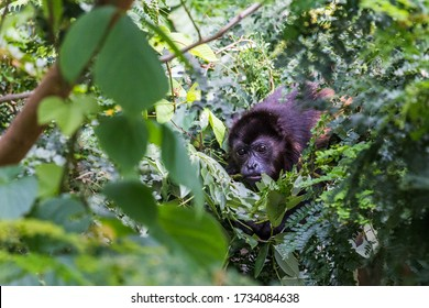 Howler monkey foraging for food in the tree tops of Guanacaste in Costa Rica. - Shutterstock ID 1734084638
