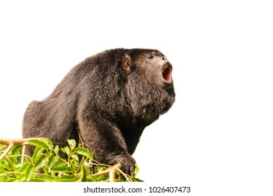 Howler monkey isolated on the white background