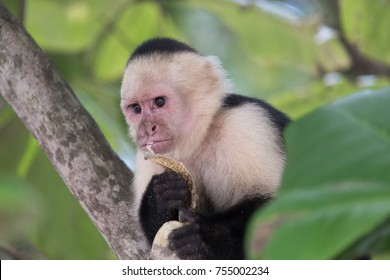 Howler monkey in tree eating a banana