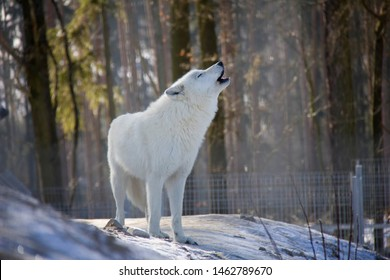 Howling arctic wolf. Canis lupus arctos.