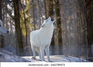 Howling arctic wolf in winter. Canis lupus arctos.