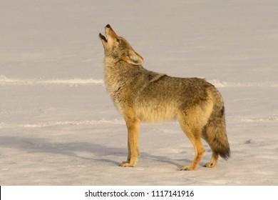 Howling Coyote closeup  Yellowstone