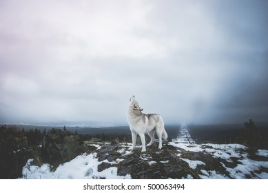 Howling dog on top of a mountain. Howling wolf on top of the mountain. A wolf's howl. Alpha