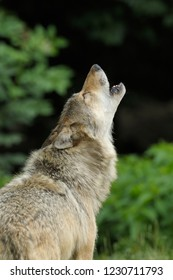 Howling gray wolf, Canis lupus, Germany, Europe