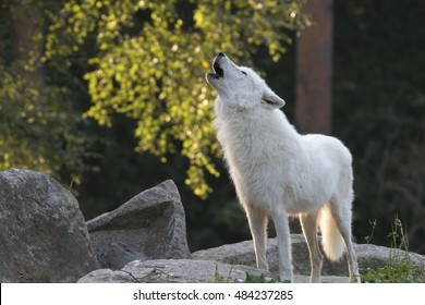 howling white wolf in the forest