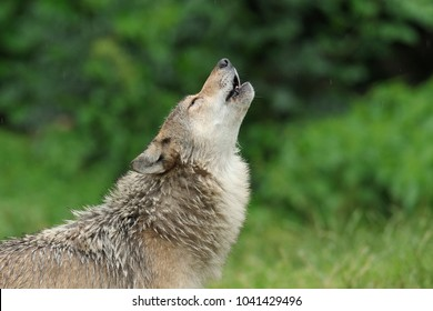 Howling Wolf, Canis lupus, Germany, Europe