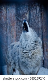 Howling wolf (in blue tones, retro style, shallow DOF with focus on the muzzle)