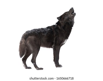 Howling wolf winter isolated on a white background.