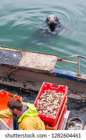 "Howth/Ireland - 07.30.2016.: A sailor man is feeding wild grey seals (Halichoerus grypus, meaning ""hooked-nosed sea pig"") in the famous harbour of Howth."