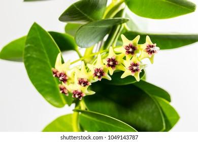 Hoya H. Cumingiana in Blossom