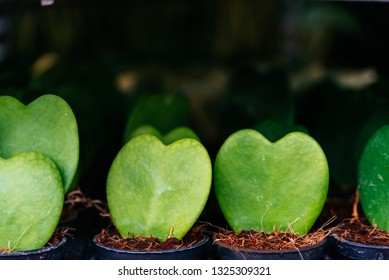 Imágenes Fotos De Stock Y Vectores Sobre Hoya Kerrii Shutterstock