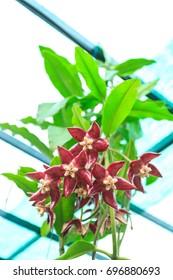 Hoya imperialis inflorescence
