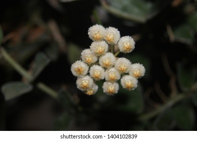 Hoya lacunosa, Apocyneceae, natural background. Small white ivy flower bent to the flower stem. Soft feather Crown and pale yellow. Has a mild scent