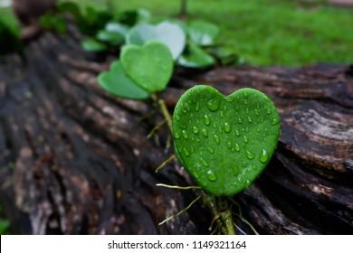 Hoya leaf with dew drop