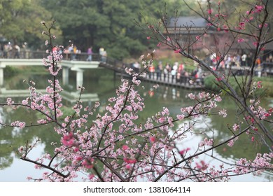 Hsinchu, Taiwan - March 2, 2019: Cherry blossom in Hsinchu park with beautiful lake view.