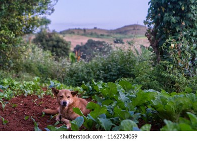 Hsipaw 3-day Hike to Shan Villages - a dog resting