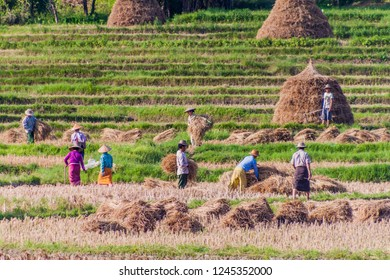 HSIPAW, MYANMAR - NOVEMBER 30, 2016: Local people harvesting rice on a field near Hsipaw