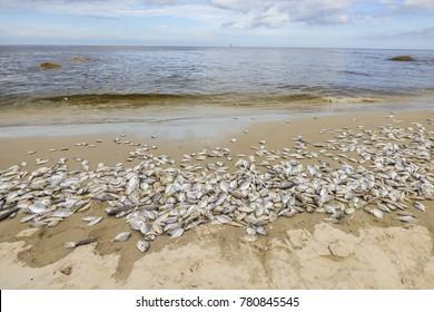 Hua Hin beach full of dead fish on the shore - Thailand