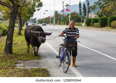 Hualien, Taiwan - December 29 2015: A farmer takes his water buffalo to his rice field along provincial highway No. 9.