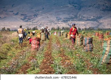 HUANCAYO, PERU - CIRCA 2017:  Men group in a  farm circa 2017, in Huancayo, Peru.
