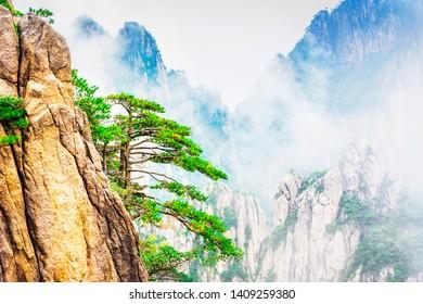 Huangshan pine (Pinus hwangshanensis). Located in Xihai Great Canyon (West Sea Grand Canyon), Huangshan, Anhui, China.