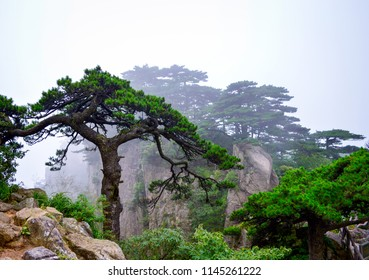 Huangshan (Yellow Mountain) Pine from Anhui Province China. Huangshan is a UNESCO World Heritage Site and one of China's major tourist destinations.