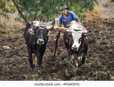 HUARAZ, PERU - CIRCA 2016: A unidentified man with two bulls plowing the field circa 2016 in Huaraz, Peru.