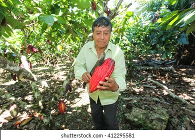 HUAYHUANTILLO, PERU - JUNE 21: A view of people who collects cocoa pods in Huayhuantillo village near Tingo Maria in Peru, 2011.