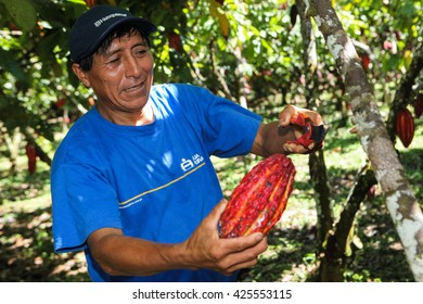 HUAYHUANTILLO, PERU - JUNE 21: A view of people who collect cocoa pods in Huayhuantillo village near Tingo Maria in Peru, 2011.